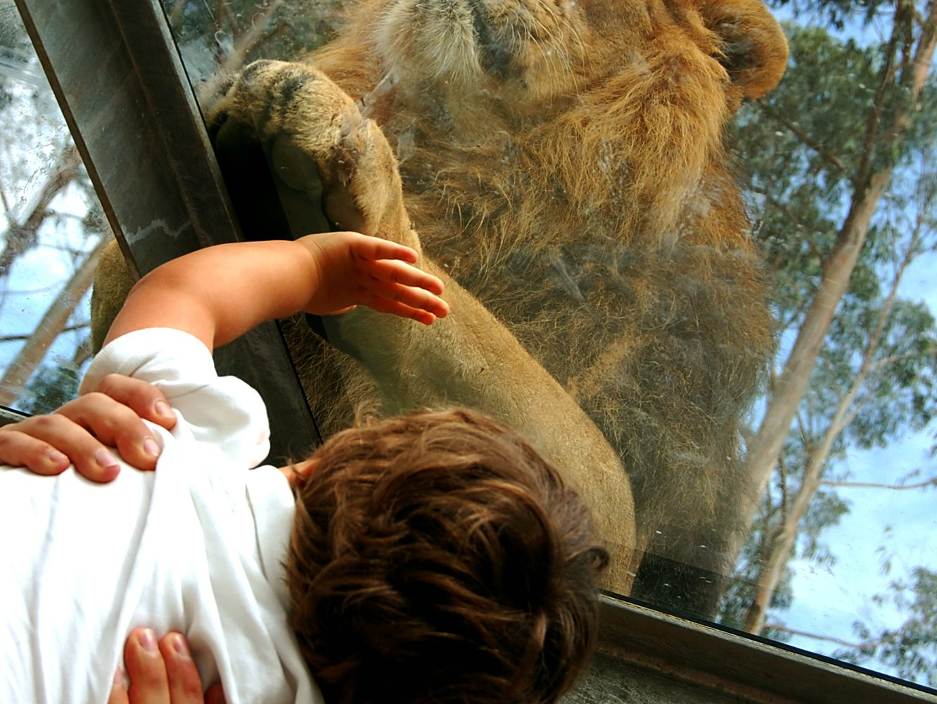 Children almost touchs the lion at Zoo santo inacio Porto