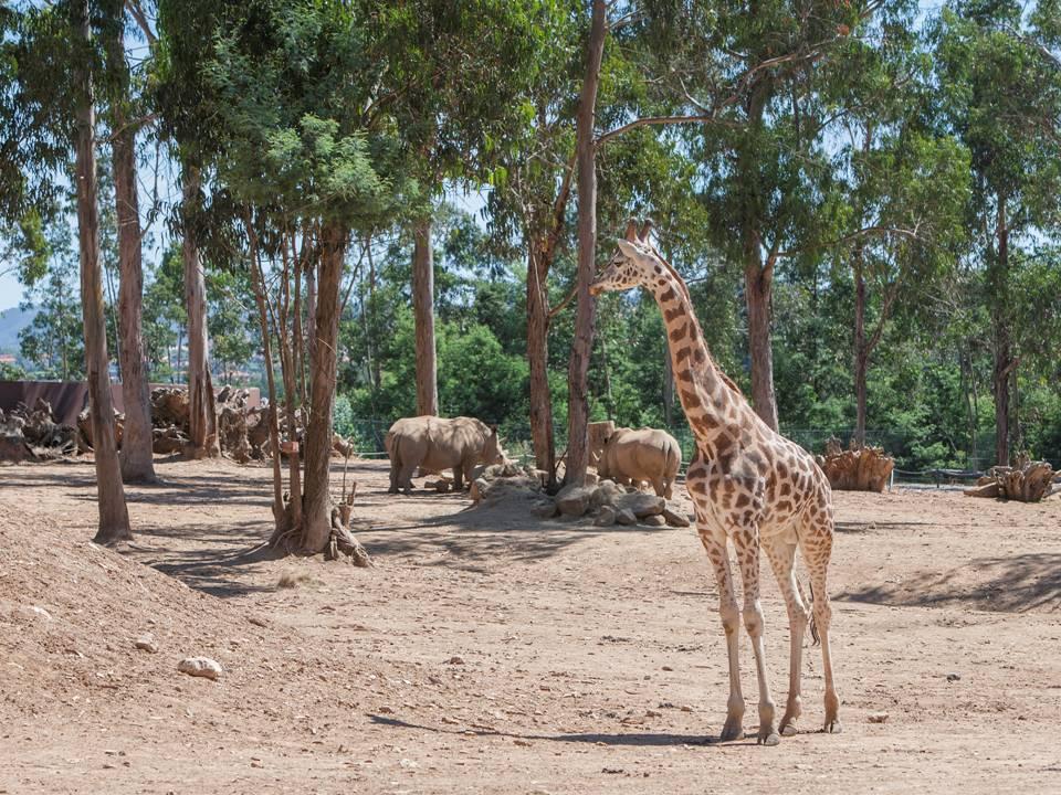 Girafe zoo Santo Inacio Porto