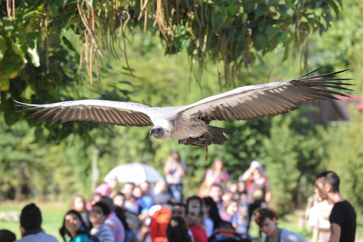 Griffon vulture flying at Zoo santo inacio Porto