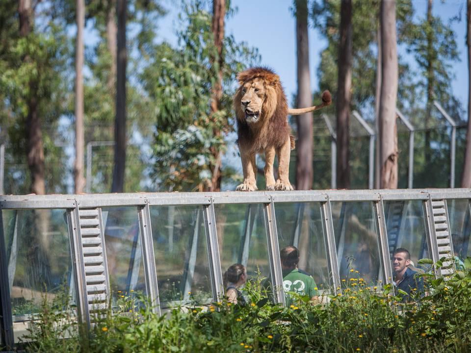 Lion zoo Santo Inacio Porto
