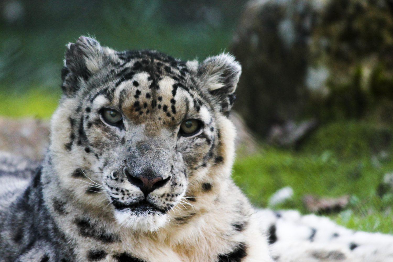 Snow panther Zoo santo inacio Porto